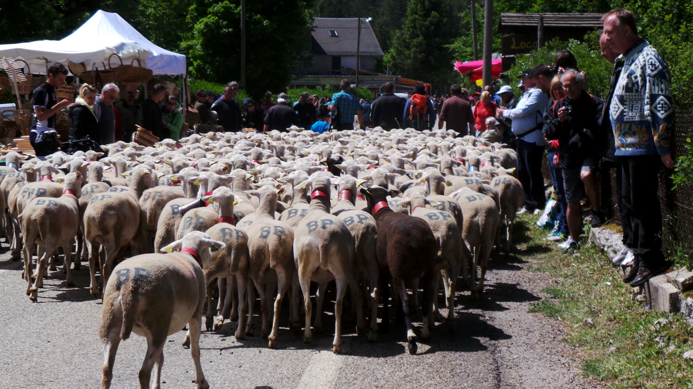 Les moutons et brebis en transhumance traversent le village de L'Espérou.
