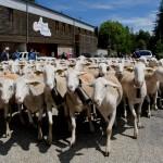 Les troupeaux traversent le village de L'Espérou avant de rejoindre leur pâturages d'été sur le massif de l'Aigoual.